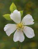 White climbing rose. On green background Royalty Free Stock Photos
