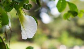 White Clitoria Ternatea flower with nice bokeh background stock photos