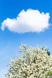 White cloud in blue sky and flowering cherry tree Stock Photos