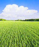 White cloud over green field Stock Image