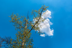 White cloud sitting on a tree Stock Photos