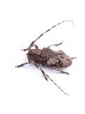 White-clouded longhorn beetle (Mesosa nebulosa) Royalty Free Stock Images