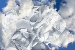 White clouds. Allegorical clouds in the form of white roses Royalty Free Stock Photos