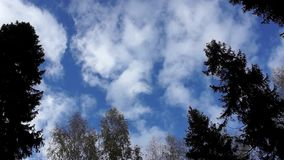 White clouds float across the sky above the forest fir trees accelerated filming. Bottom view stock video footage