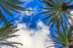 White clouds, palm trees and blue sky. Background image vivid colors, fluffy white clouds. Palm trees covering the corners. Looking up. Sky view through green Royalty Free Stock Photography