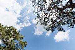 White cloudy and blue sky with pine tree Royalty Free Stock Photography