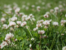 White clover Royalty Free Stock Photography