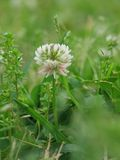 White clover. Single white clover head in lawn Stock Images