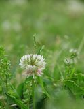 White clover. Single white clover head in lawn Royalty Free Stock Images