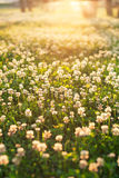 White clover stock photography