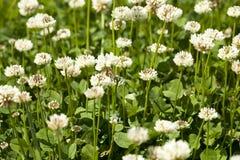 White clover Stock Photos