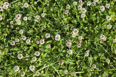White clover background Royalty Free Stock Photo