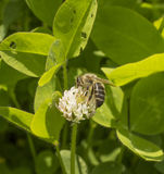 White clover and bee Stock Images