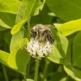 White clover and bee Stock Photo
