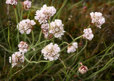 White Clover. Closeup of White Clovers and grass Stock Photography
