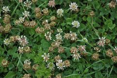 White clover creeping. The flowers and leaves of clover white or creeping. There are valuable animal feed, good honey plant, used in landscape design Stock Images