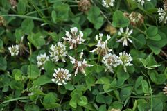White clover creeping. The flowers and leaves of clover white or creeping. There are valuable animal feed, good honey plant, used in landscape design Stock Photo