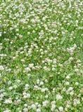 White clover. Dense white clover flower mat growing on green summer field Stock Photos