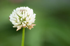 White clover. White or Dutch clover (Trifolium repens) flowering in an English meadow royalty free stock photos