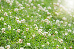 White clover field Royalty Free Stock Photos