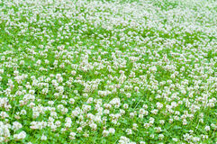 White clover field stock image