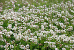 White Clover Stock Photo