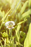 White clover Royalty Free Stock Image