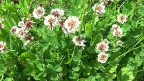 White clover flover in the field. HD video footage motion camera shooting HD video. Panorama. White clover flover in the field. HD video footage shooting of stock video footage