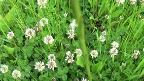 White clover flover in the field. HD video footage motion camera shooting HD video. Panorama. stock video