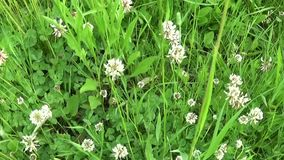 White clover flover in the field. HD video footage motion camera shooting HD video. Panorama. White clover flover in the field. HD video footage shooting of stock video