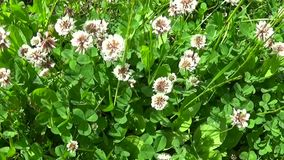 White clover flover in the field. HD video footage motion camera shooting HD video. Panorama. White clover flover in the field. HD video footage shooting of stock footage
