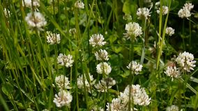 White clover flover in the field. HD video footage static camera. White clover flover in the field. HD video footage shooting of static camera stock footage