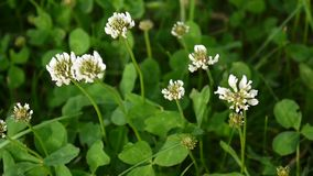 White clover flover in the field. HD video footage static camera. stock video