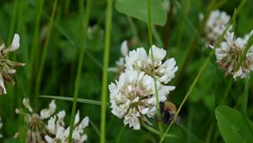 White clover flover in the field. HD video footage static camera. stock video footage