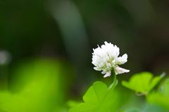 White Clover Flower Royalty Free Stock Photography