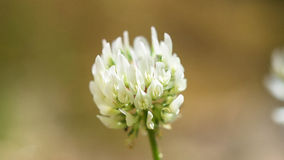 White Clover. Flower found in Nature Royalty Free Stock Photos