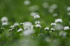 White clover flowers Stock Images