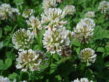 White clover flowers and a bee. White clover flowers on a lawn Royalty Free Stock Photography