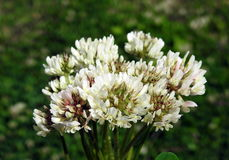 White clover flowers bouquet Royalty Free Stock Photos