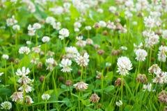 White clover flowers field. Stock Photo