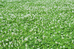White Clover Flowers - Stock Images