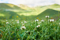 White clover flowers in the grass with dew early morning Royalty Free Stock Images