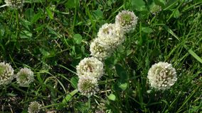 White clover flowers among grass. White clover flowers among green grass royalty free stock photo