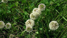 White clover flowers among grass