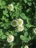 White Clover Flowers. Royalty Free Stock Image