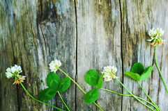 White clover flowers Royalty Free Stock Image