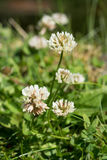 White clover flowers Stock Image