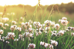 White clover flowers. At sunset stock photos