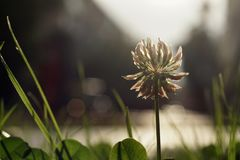 White Clover in a green lawn by the road Closeup Stock Photos