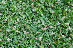 The white clover grows on a meadow Stock Photography